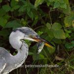 Canon EOS 7D Mark II, Fischreiher, Tamron 150-600mm, Wildlife, Wildlife Fotografie