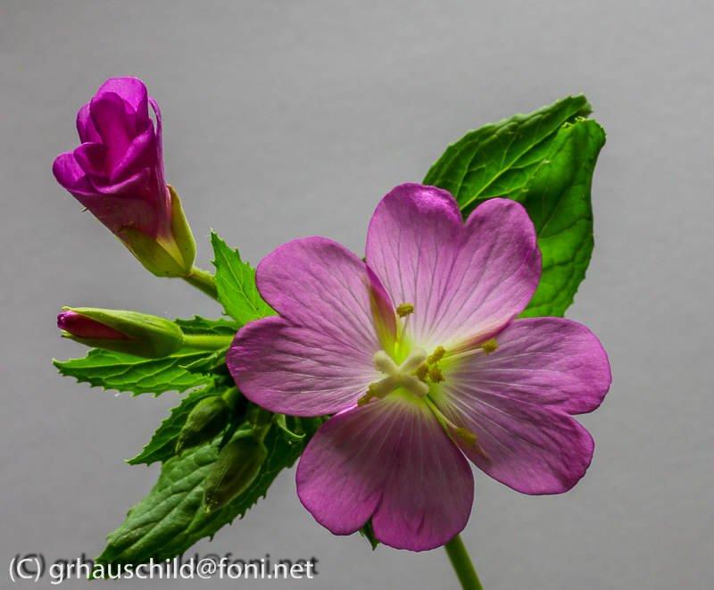 Weidenröschen - Pflanzenfotografie