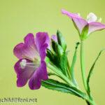 Pflanzenfotografie Weidenröschen