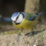 blue tit, Wildlife Photography Trik Images UK, Canon EOS 7D Mark II