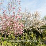 Magnolien in Grefrath - Fotografiert mit Fuji X100S, Niederrhein