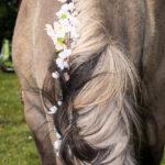 Wunderschön geschmückte Pferde