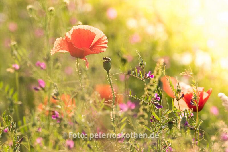 Mohn ist auch eine Blume, Natur, Roter Mohn, Klatschmohn, Foto
