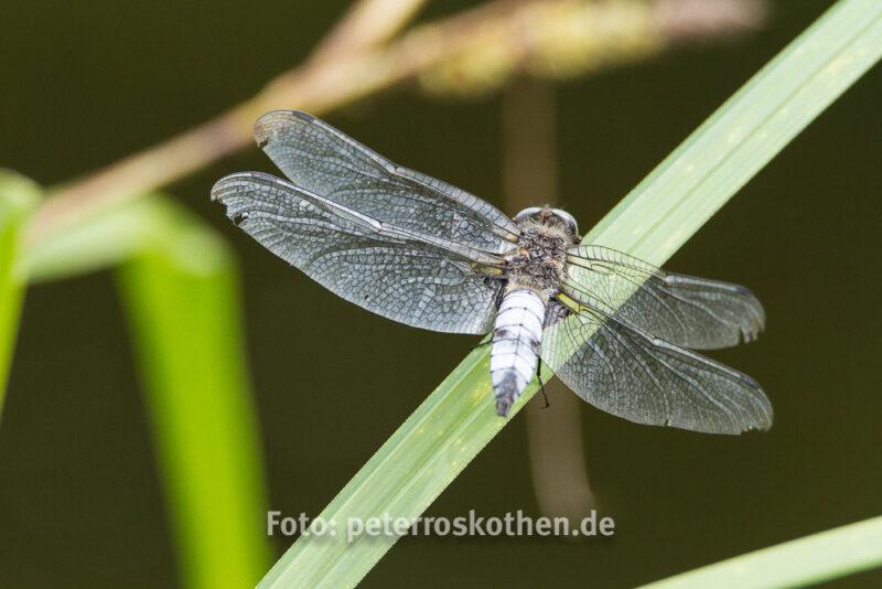 Libelle mit Mindesabstand, Tamron SP 150-600mm F/5-6.3 Di VC USD - Makrofotografie - die Faszination der Winzigkeit