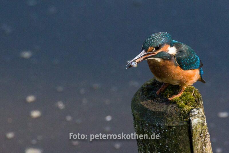 Canon EOS 7D Mark II, Eisvogel, Tamron 150-600mm, Wildlife, Wildlife Fotografie, Kingfisher