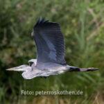Wildlife Fotografie Fischreiher im Flug