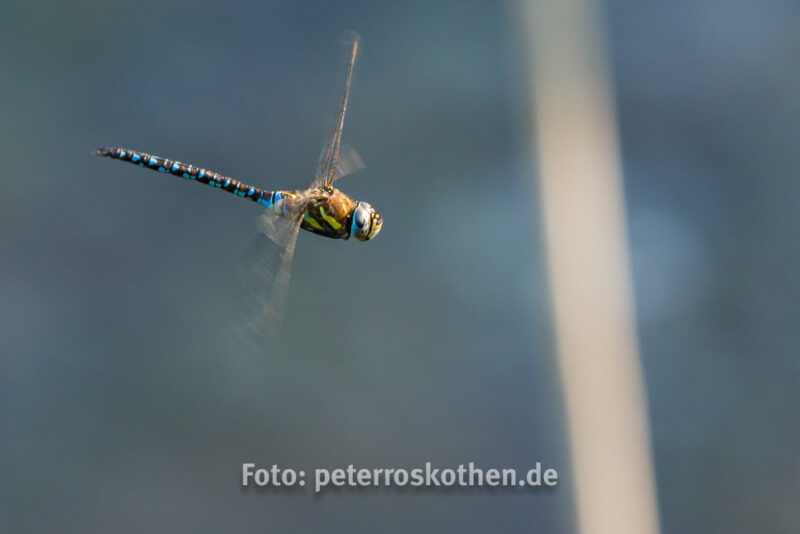 Wildlife Fotografie Libelle im Flug