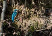 Eisvogel Bilder