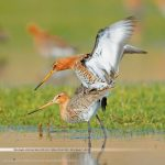 uferschnepfe praxisbuch vogelfotografie