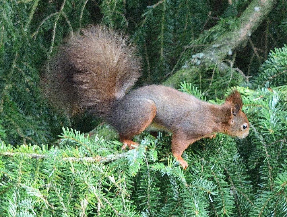 Eichhörnchen mit Nikon D850 und Nikkor DX 55-300 bei Blende 5,6 und 300 mm (= 450 KB-Brennweite)