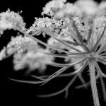 Pflanzenportrait_1: Die wilde Möhre – Studioaufnahmen