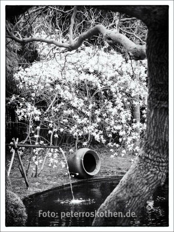 Frühlingsbild mit Magnolie in Schwarzweiß