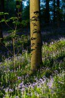 Bluebells in Hallerbos