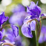 Lilien – oder die Frage nach den Flares