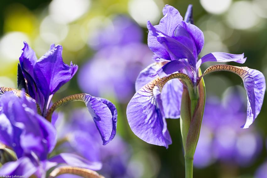 Lilien - oder die Frage nach den Flares