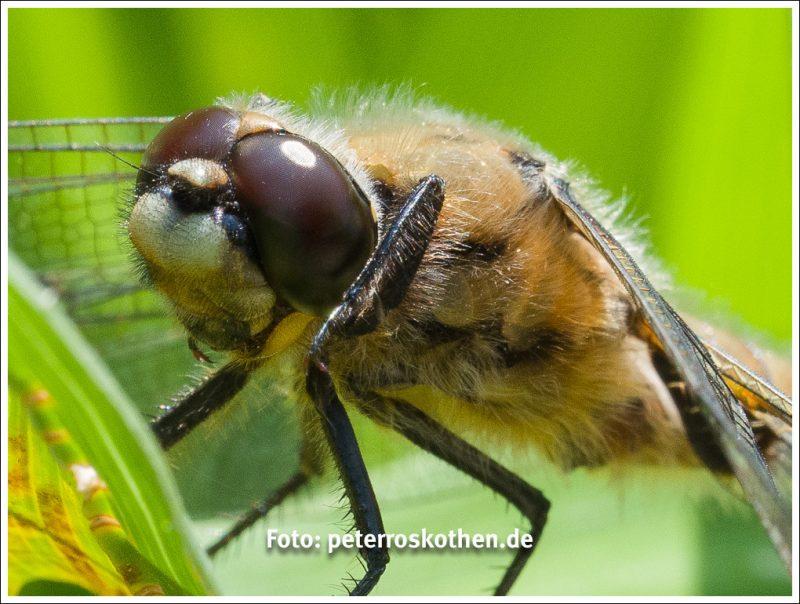 Libelle - Bild der Woche