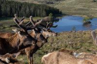 Wildlife in Schottland Reraig Forest