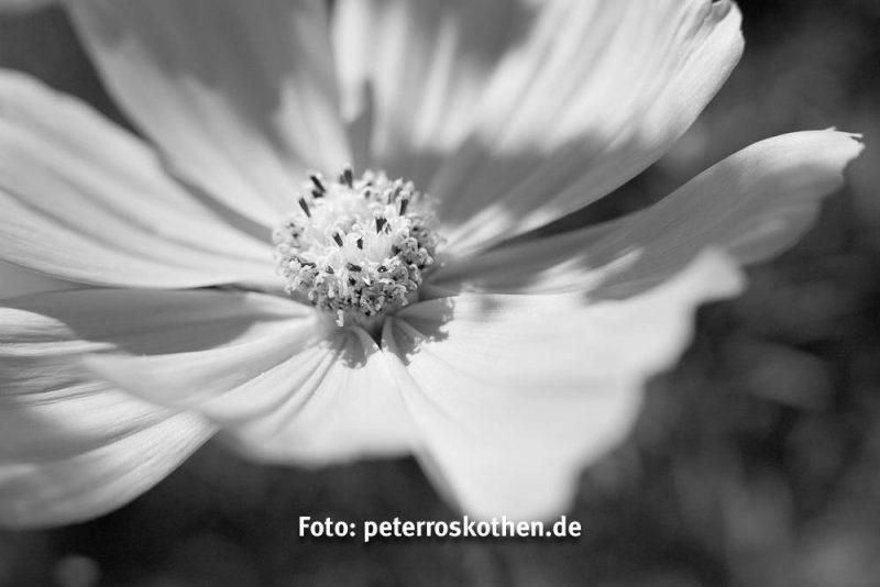 """Schwarzweiss - Das gleich Foto """"unbunt"""". Gelb ist nicht heller als die pinken Blätter"""