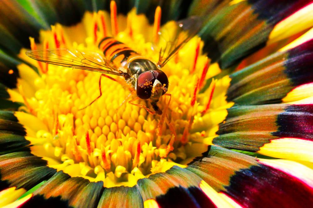 Biene mit Pollen - Tierfotografie auf dem Balkon