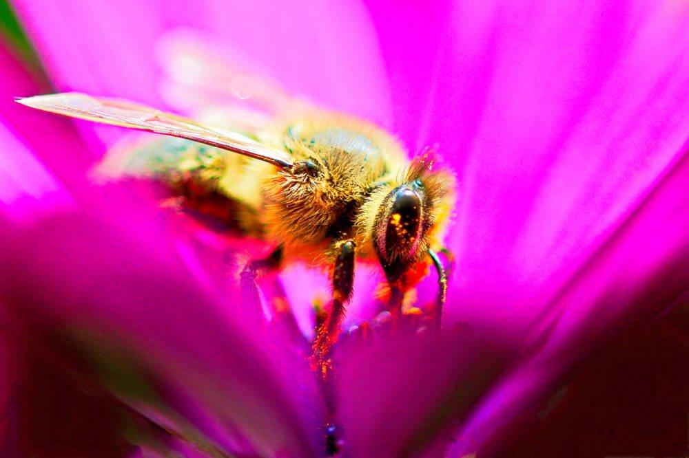 Biene in einer violett blühenden Bornholmer Margerite.