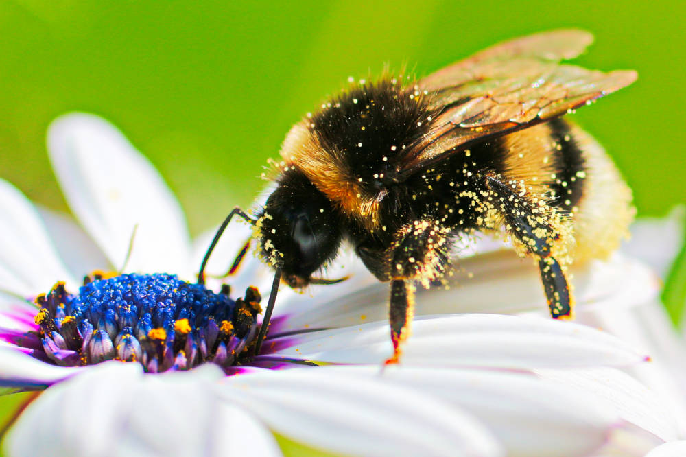 Hummel auf einer Bornholmer Margeriten voller Pollen.