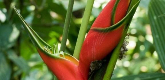 Pflanzen der Karibik und Mittelamerikas