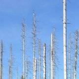Waldsterben ?