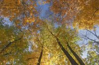 Bitternuss Bäume – Bild der Woche
