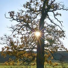 Baum mit Herbstlaub mit Sonnenstern
