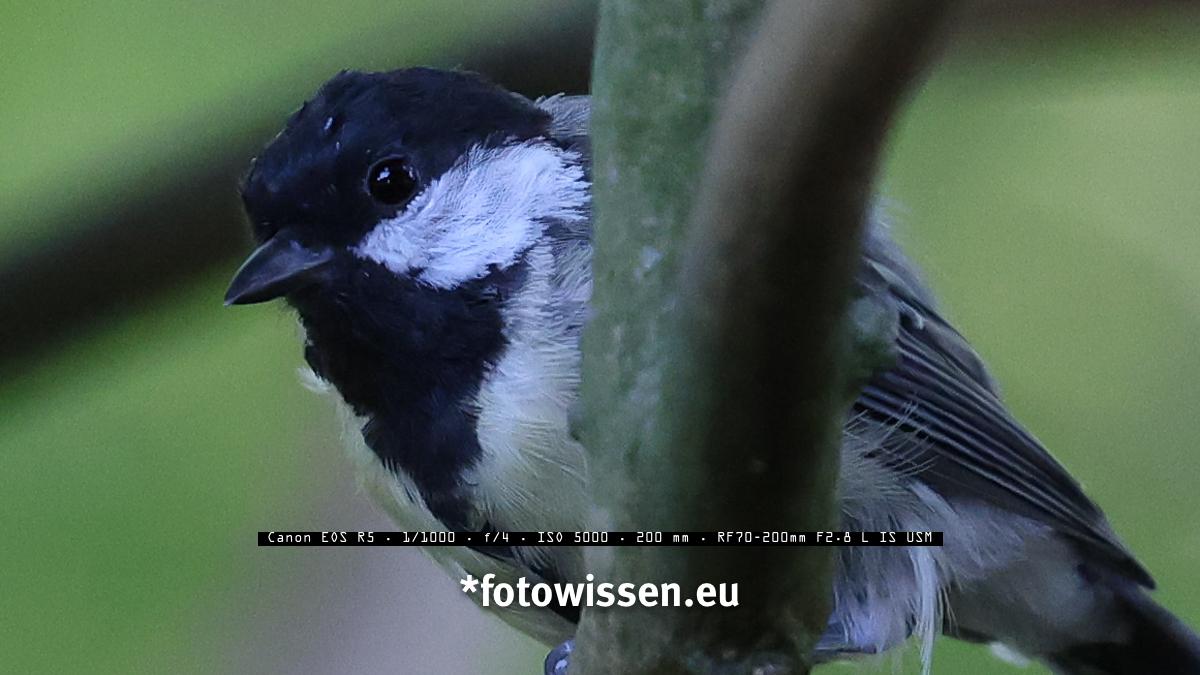 Foto Canon EOS R5 - Vogel mit RF 70-200 und Augenerkennung bei ISO 5000