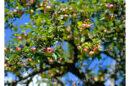 Foto Bedeutung im Auge des Betrachters - Apfelbaum
