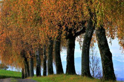 Herbststimmung - Birken im Herbstkleid