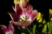 Schön Alt - Tulpen - Foto Frank Seeber